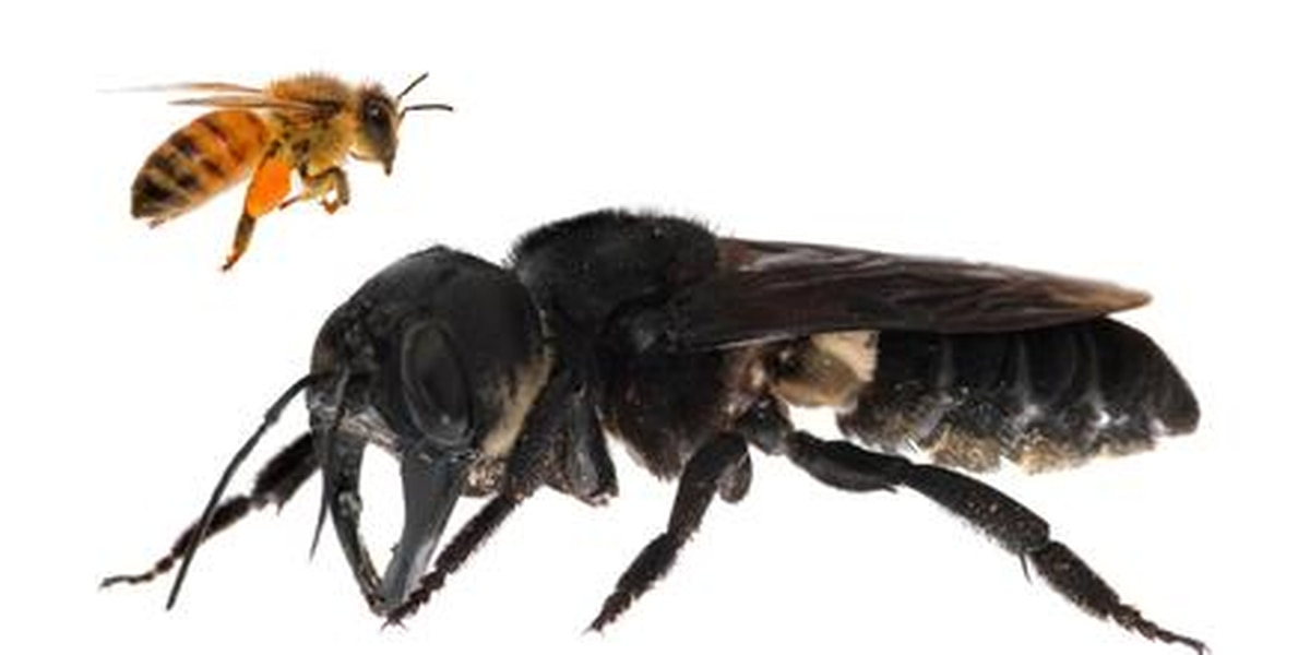The world's largest bee