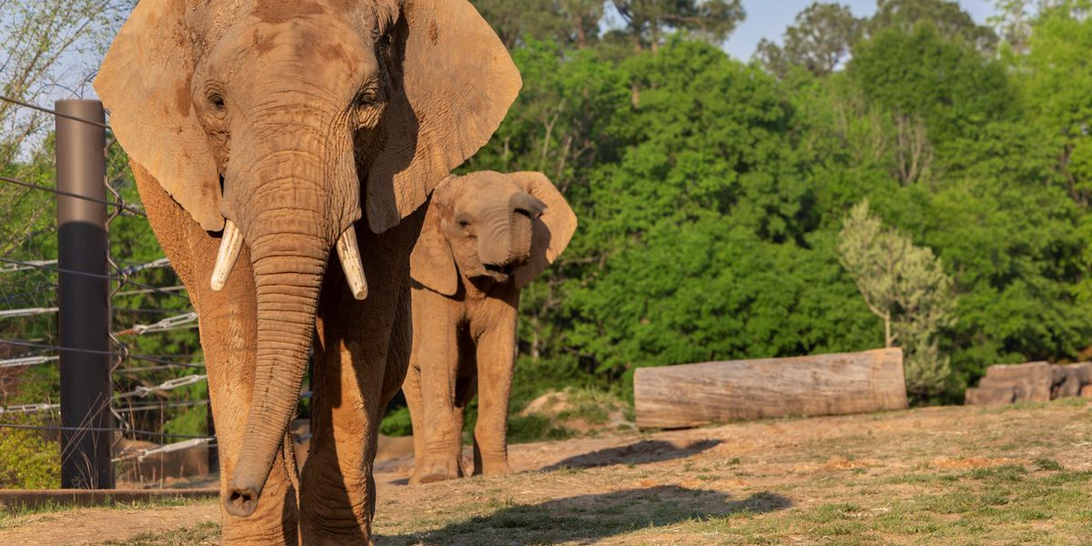 Meet Emanti and Mac, Caldwell Zoo's new African elephants