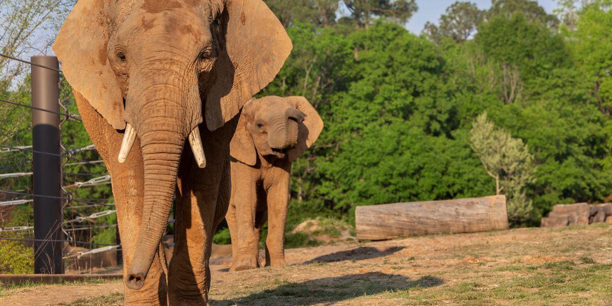 Meet Emanti and Mac, Caldwell Zoo's new African elephants
