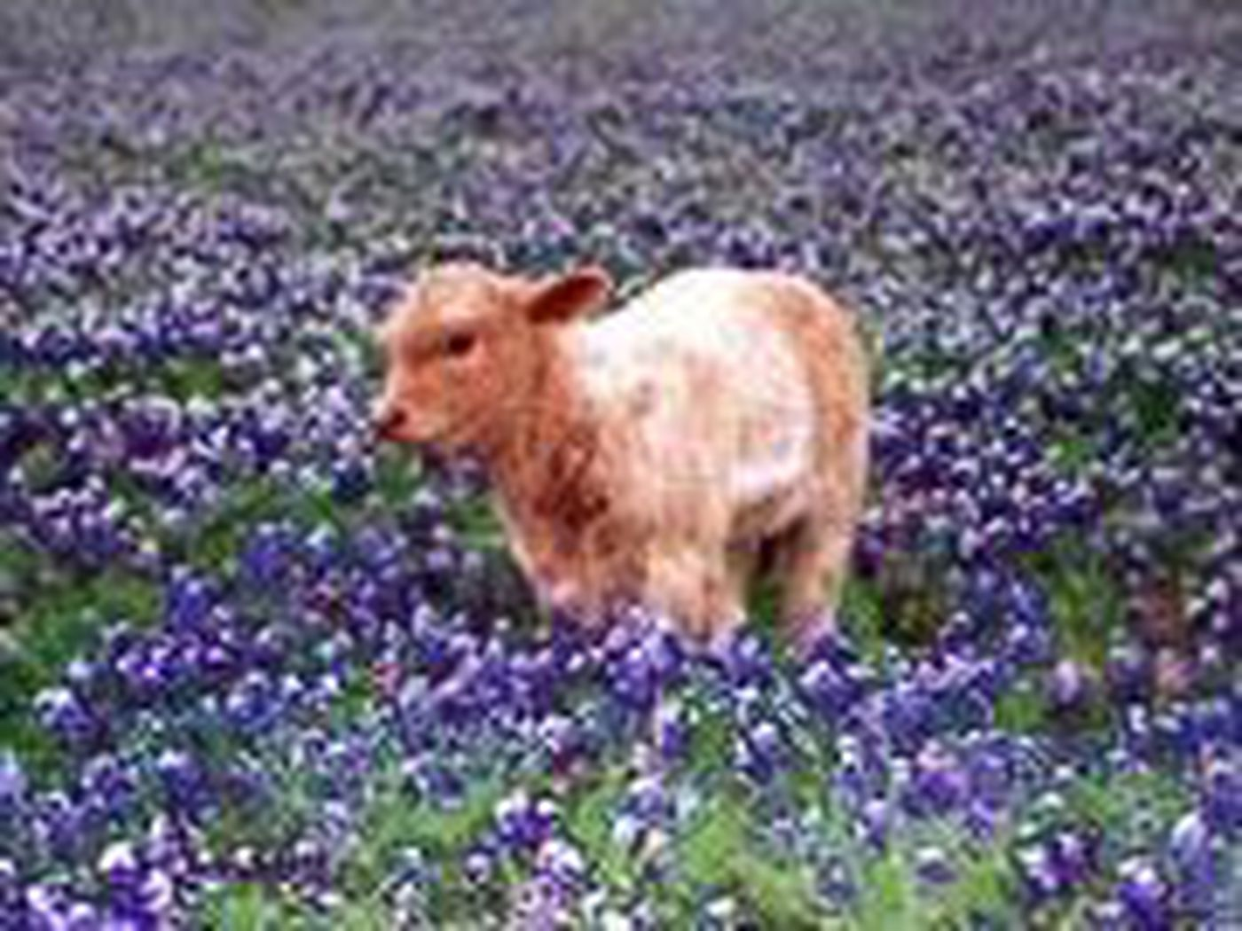 Bluebonnets The Texas State Flower