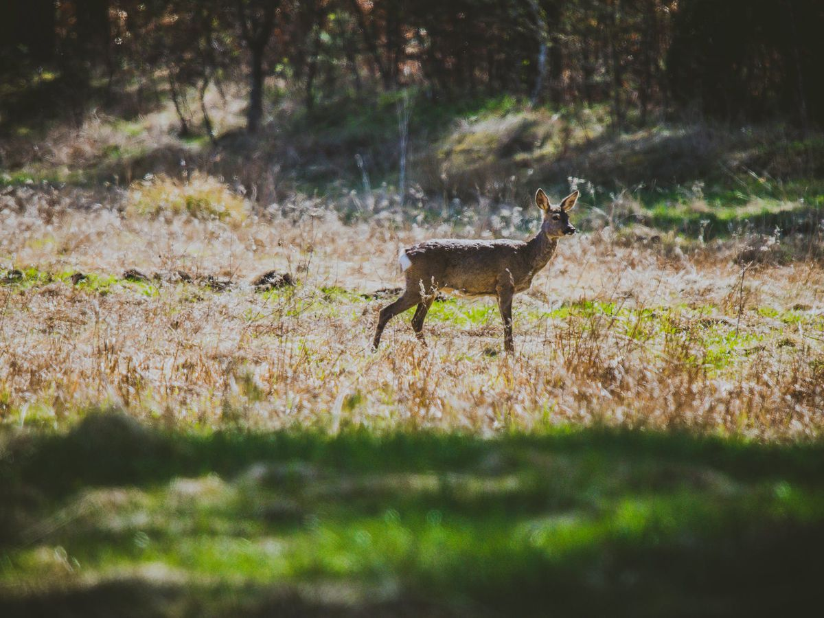 Above average season expected for Texas deer hunters