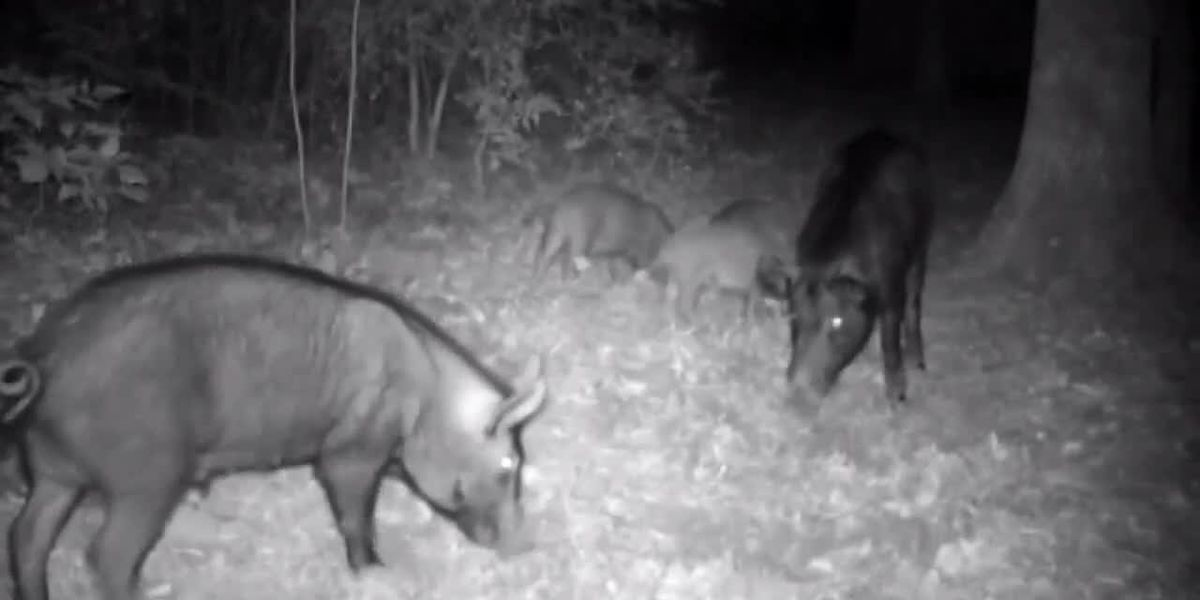 Big Thicket National Preserve begins issuing free feral hog trapping permits