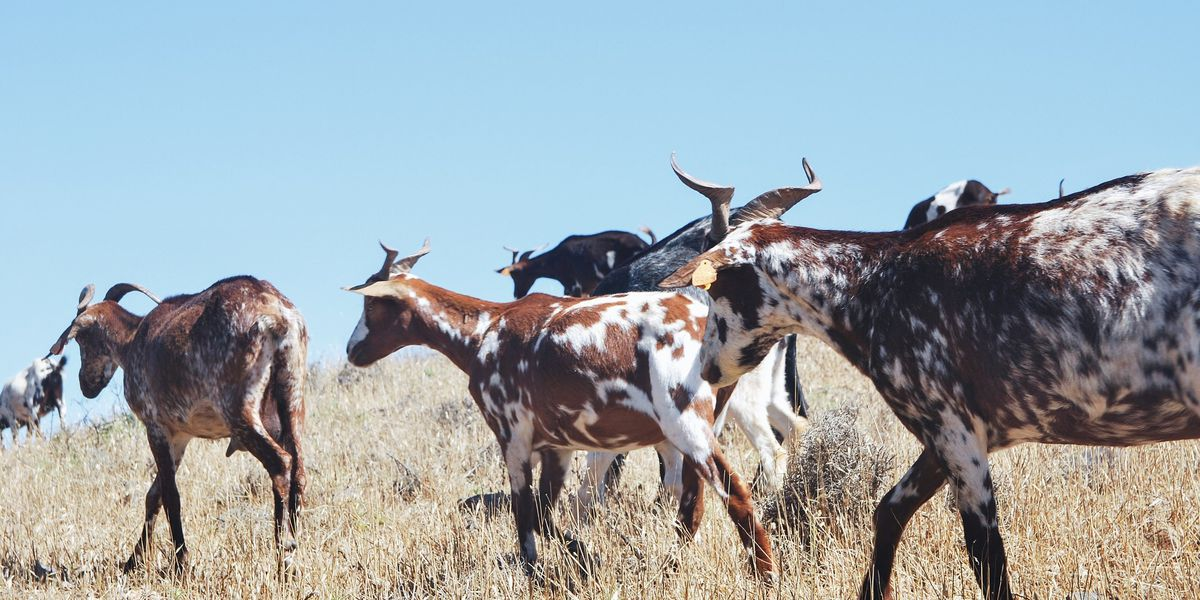 East Texas Ag News: Sheep and goat numbers strong despite softening prices