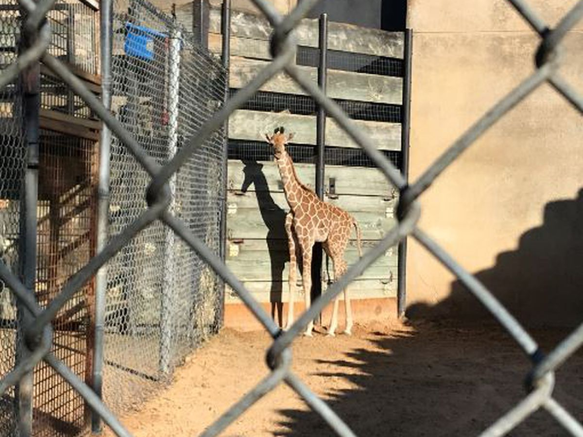 Caldwell Zoo announces name of baby giraffe