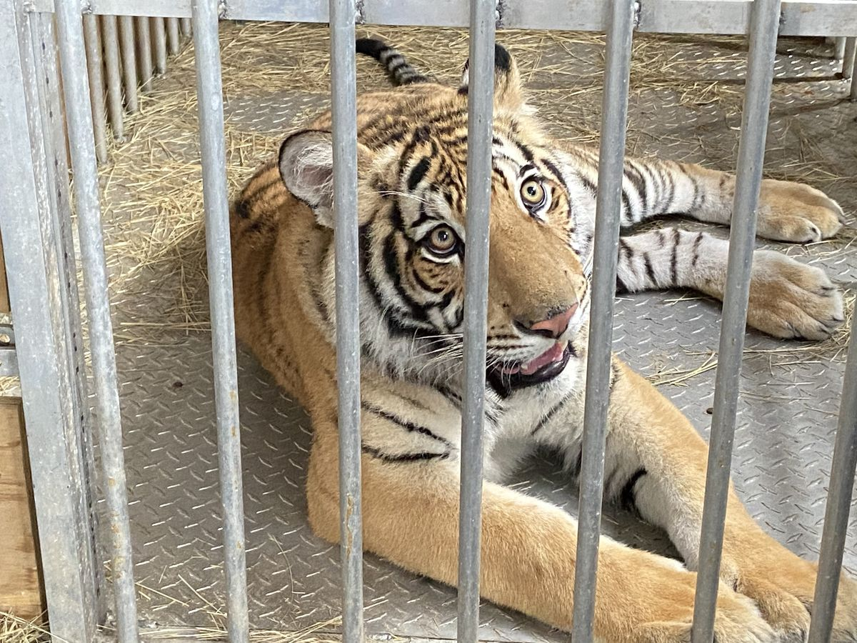 Henderson County ranch releases footage of Houston tiger