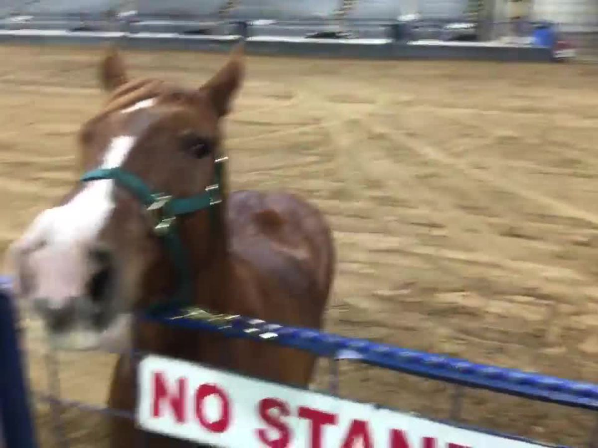 Bureau of Land Management adopting horses this week