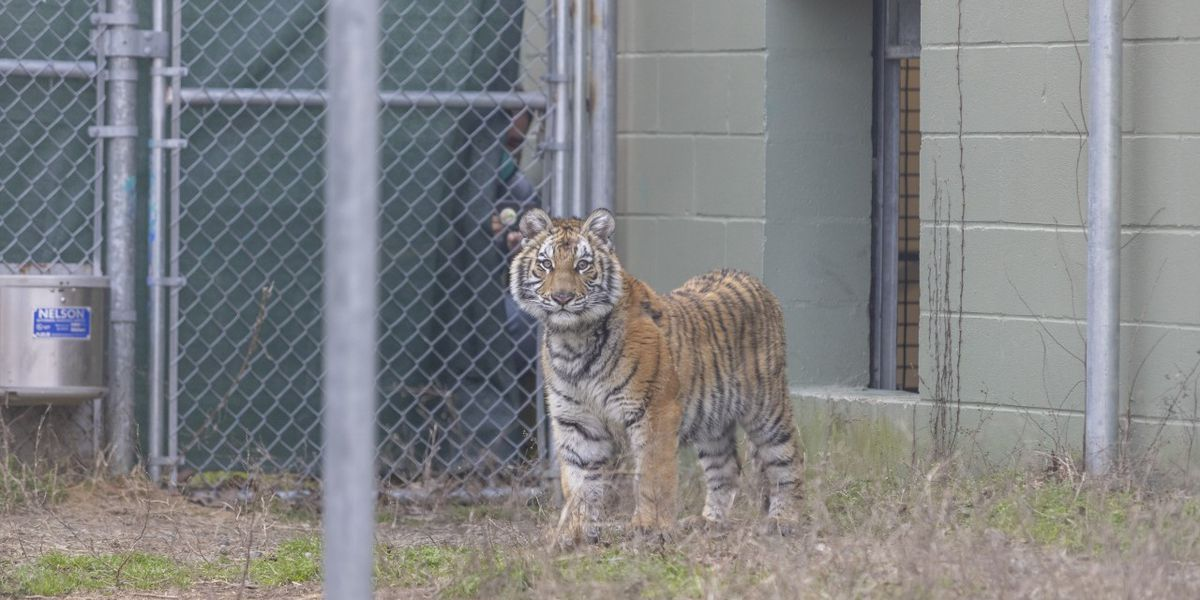 Houston tiger found, will now be taken to Cleveland Amory Black Beauty Ranch