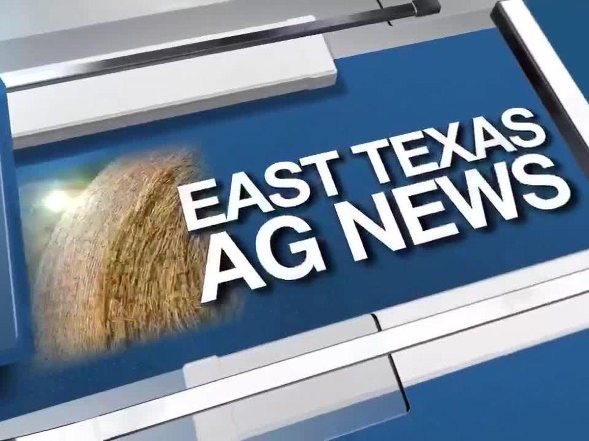 East Texas Ag News: Managing the bermuda grass maggot