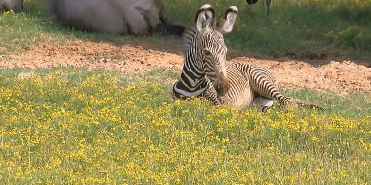 Baby zebra makes public debut at Caldwell Zoo