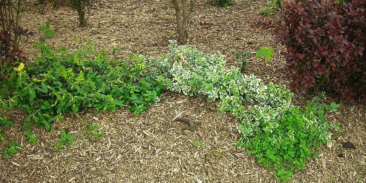 East Texas Ag News: The benefits of mulching trees, shrubs and flower beds