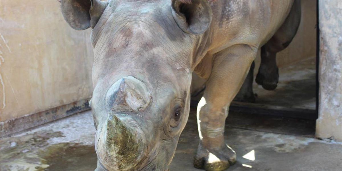 Black rhino transferred from Tyler zoo fathers Michigan zoo's first calf in 100 years