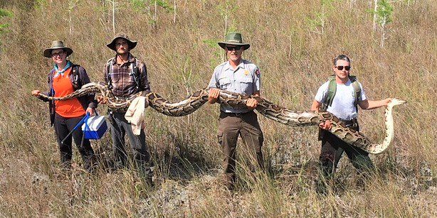 Researchers remove largest female python from Big Cypress National Preserve