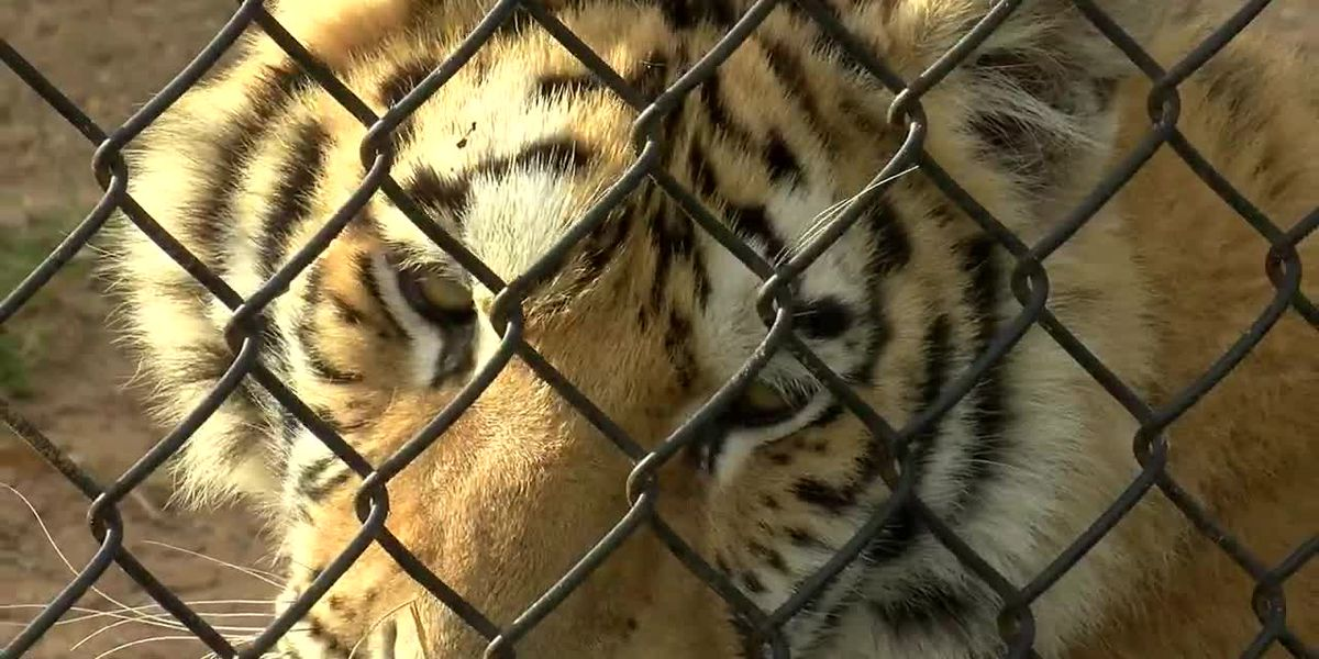 WebXtra: Tiger Creek Animal Sanctuary hosts Santa Paws