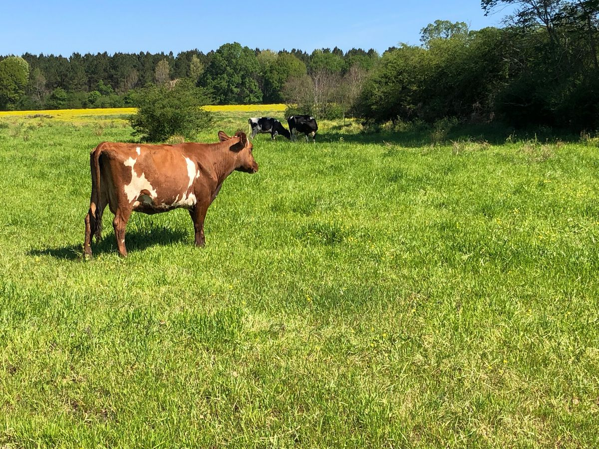 East Texas Ag News: Tips on grazing pregnant heifers in winter