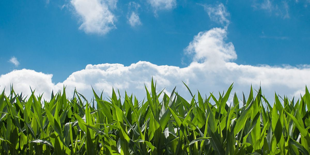 Corn prices highest in nearly eight years