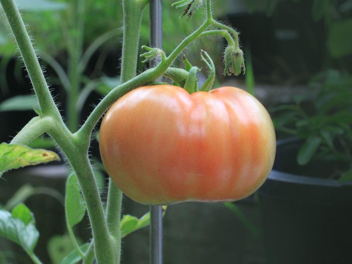 Rain, humidity plague tomato gardeners