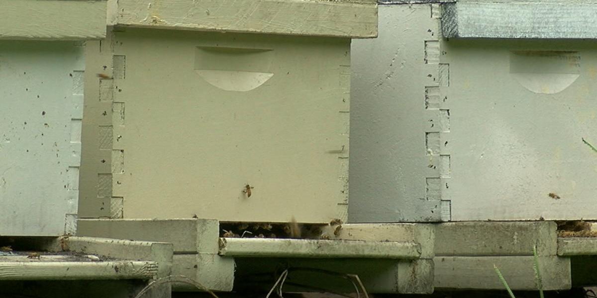 Specialty license plate benefits Texas Honeybee Education Association