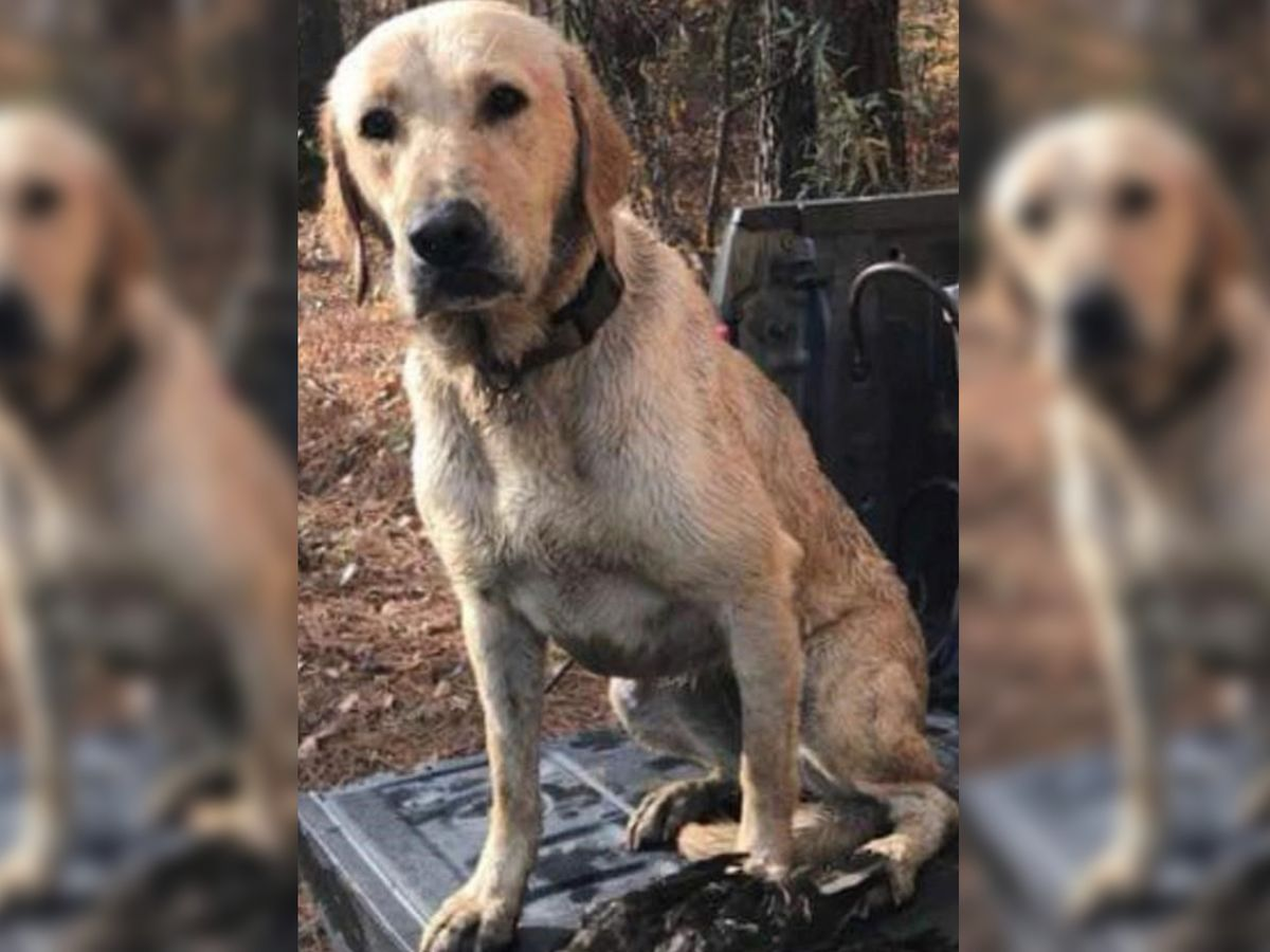 Man recalls seeing the fatal shooting of Gypsy the yellow Labrador retriever