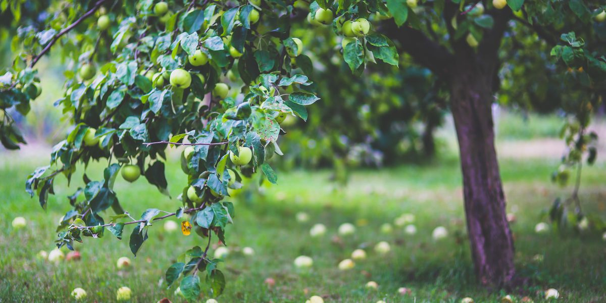 East Texas Ag News: East Texas has already reached its chilling hours for fruit trees