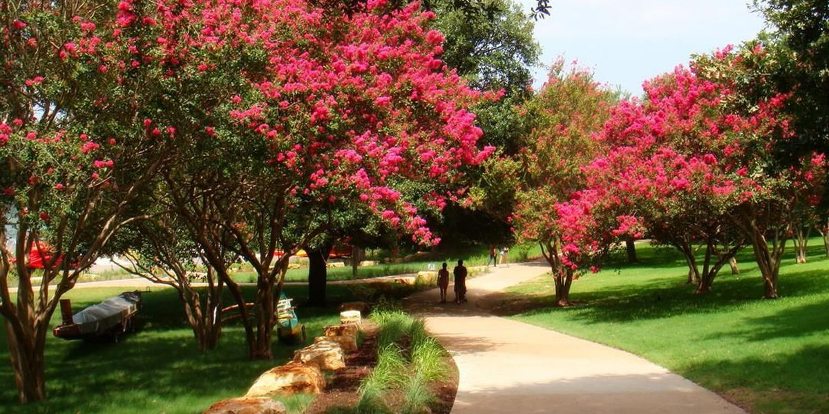 East Texas Ag News: Combating crepe myrtle bark scale