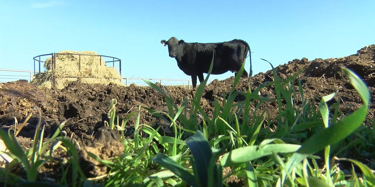 East Texas Ag News: Transitioning to early spring grass for grazing