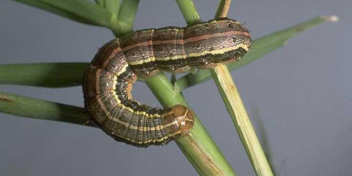 East Texas Ag News: Spotting Armyworm caterpillars