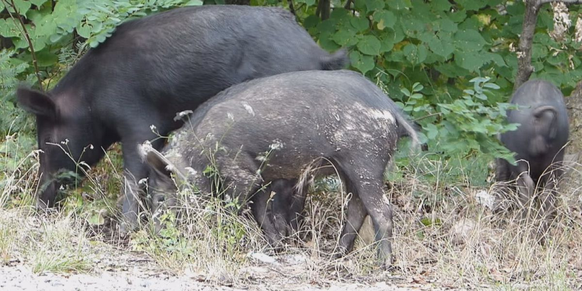 Marion County officials to give free feral hog meat to those in need