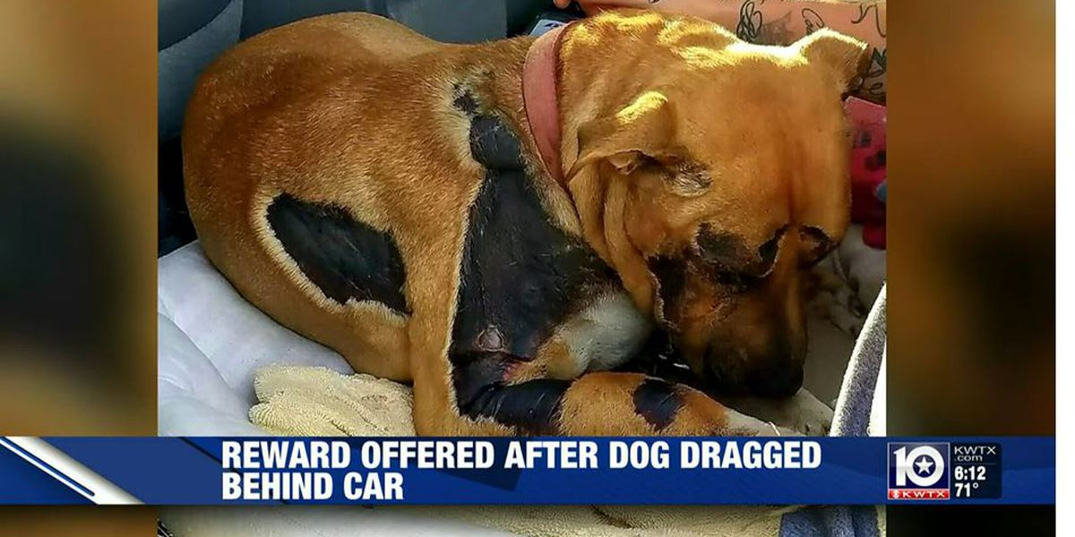 $15,000 reward offered after dog dragged behind car found in yard of Belton area home