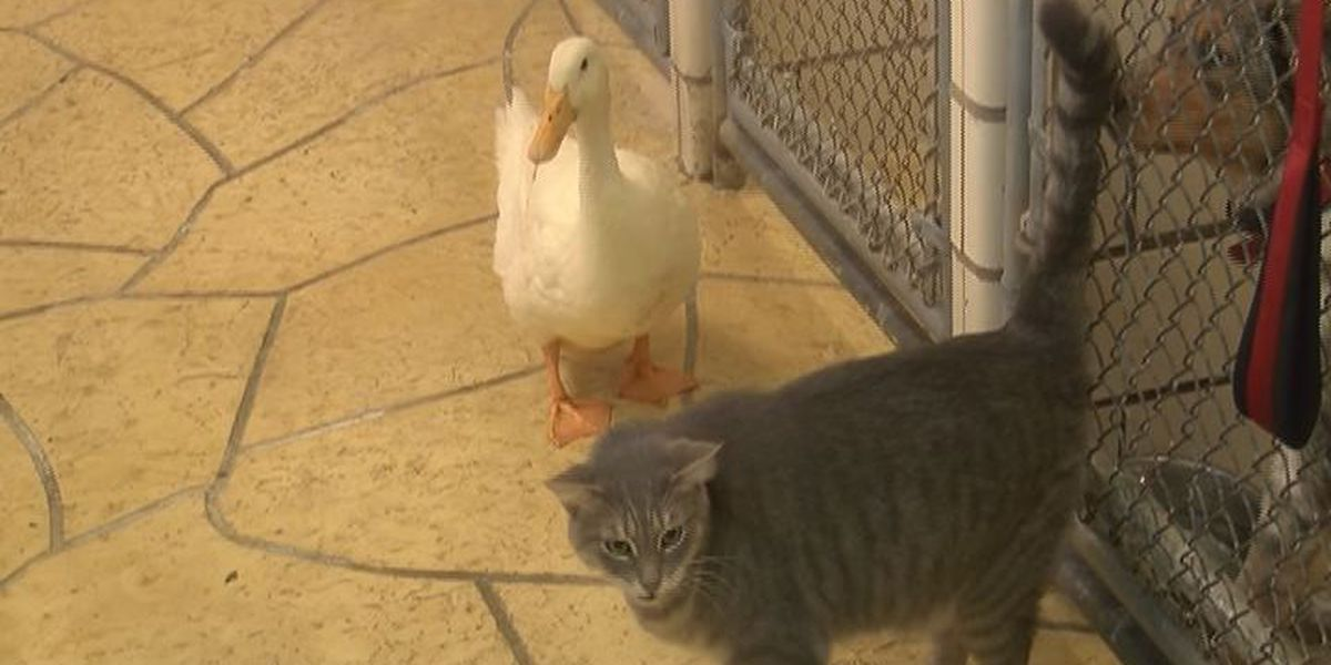 The cat and duck that won't leave each other's side