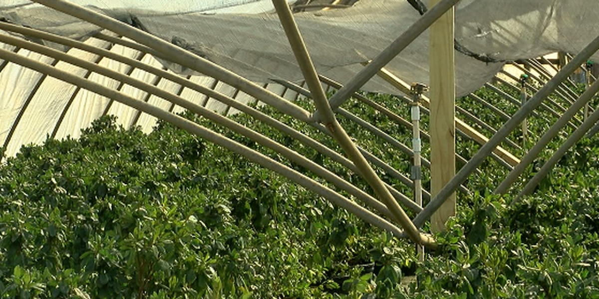 East Texas plant nursery loses 7 greenhouses to snow