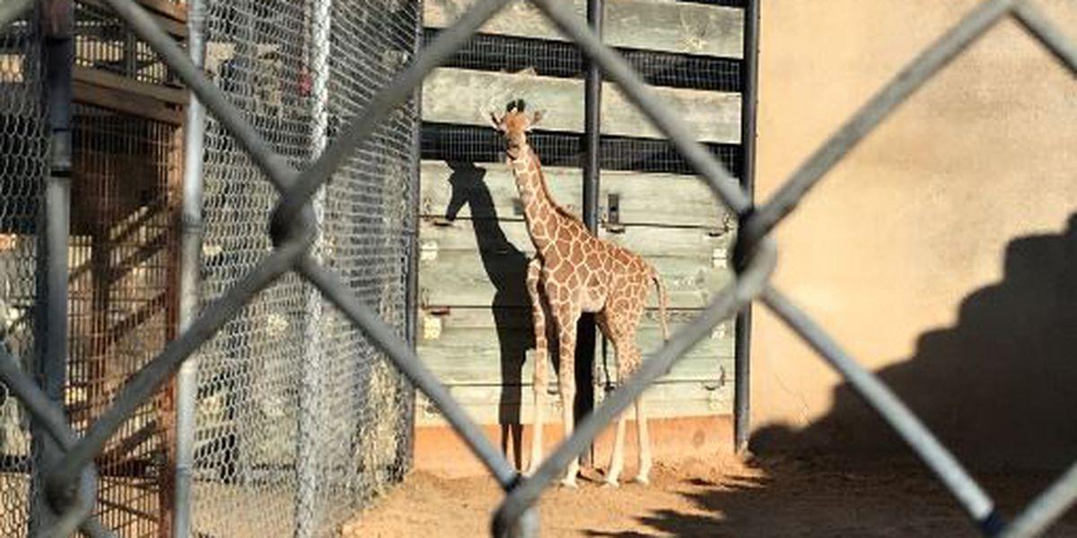 Caldwell Zoo welcomes new baby giraffe!