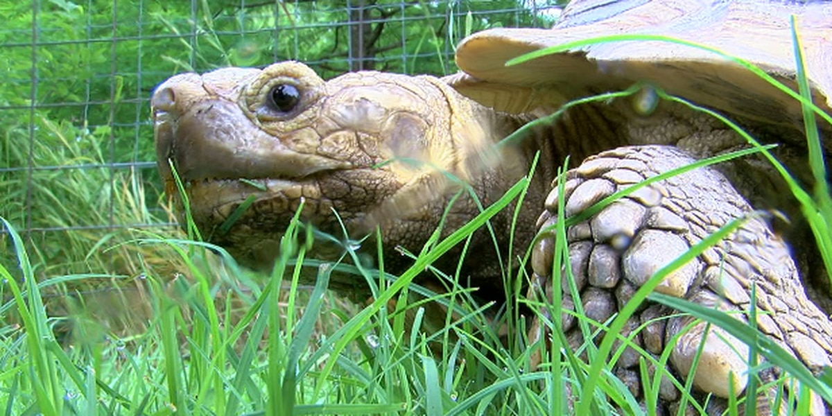 African tortoise found in Upshur County now lives at local zoo