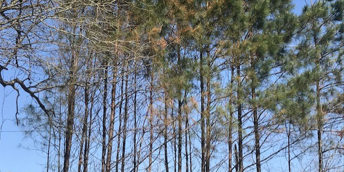 'Don't panic': A&M Forest Service says not to fret over dead-looking trees