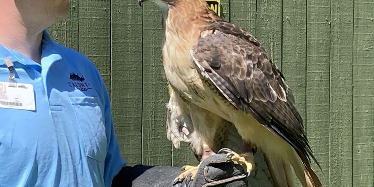 WebXtra: Caldwell Zoo's red-tail hawk an ambassador bird with a story to tell