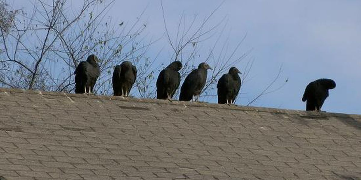 Hundreds of vultures take up residence in Gilmer