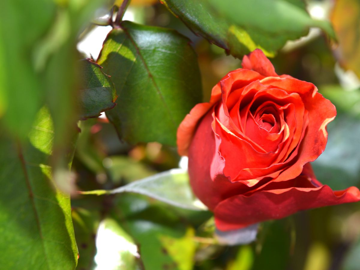 East Texas Ag News: February is the month to prune tea roses
