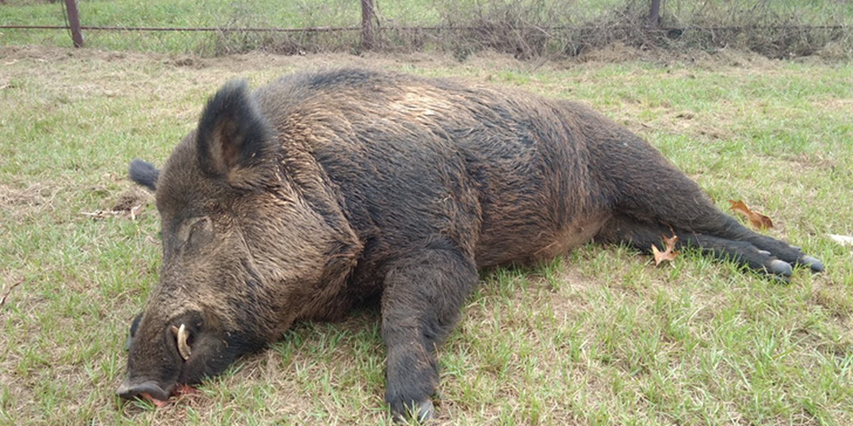 East Texas man kills massive 'Bush Beast' weighing 416 pounds