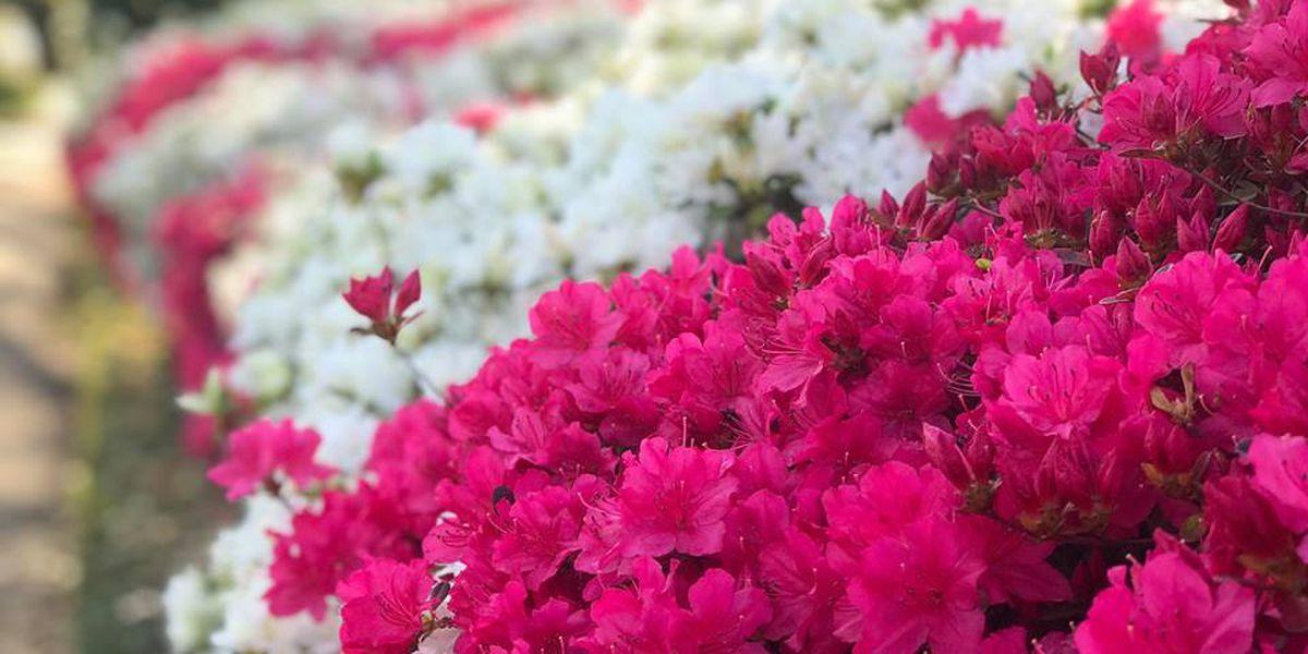 East Texas Ag News: Tips on pruning azaleas