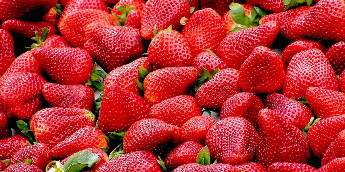 East Texas Ag News: New strawberry variety named 2018 Texas superstar plant