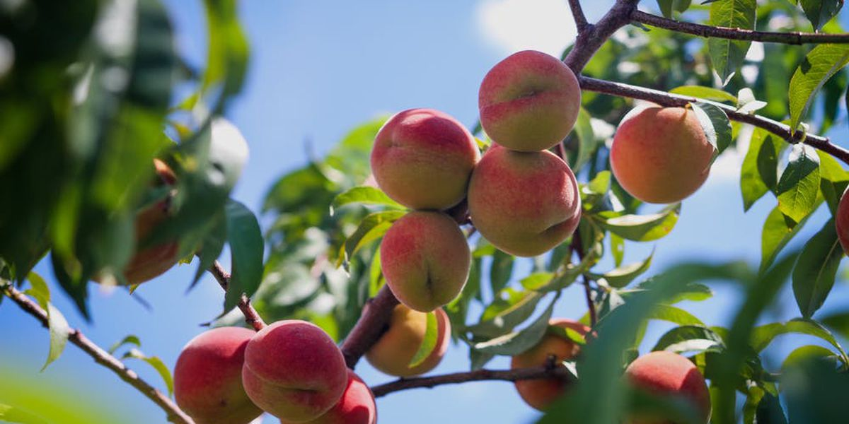 East Texas Ag News: Methods for starting fruit tree from seed