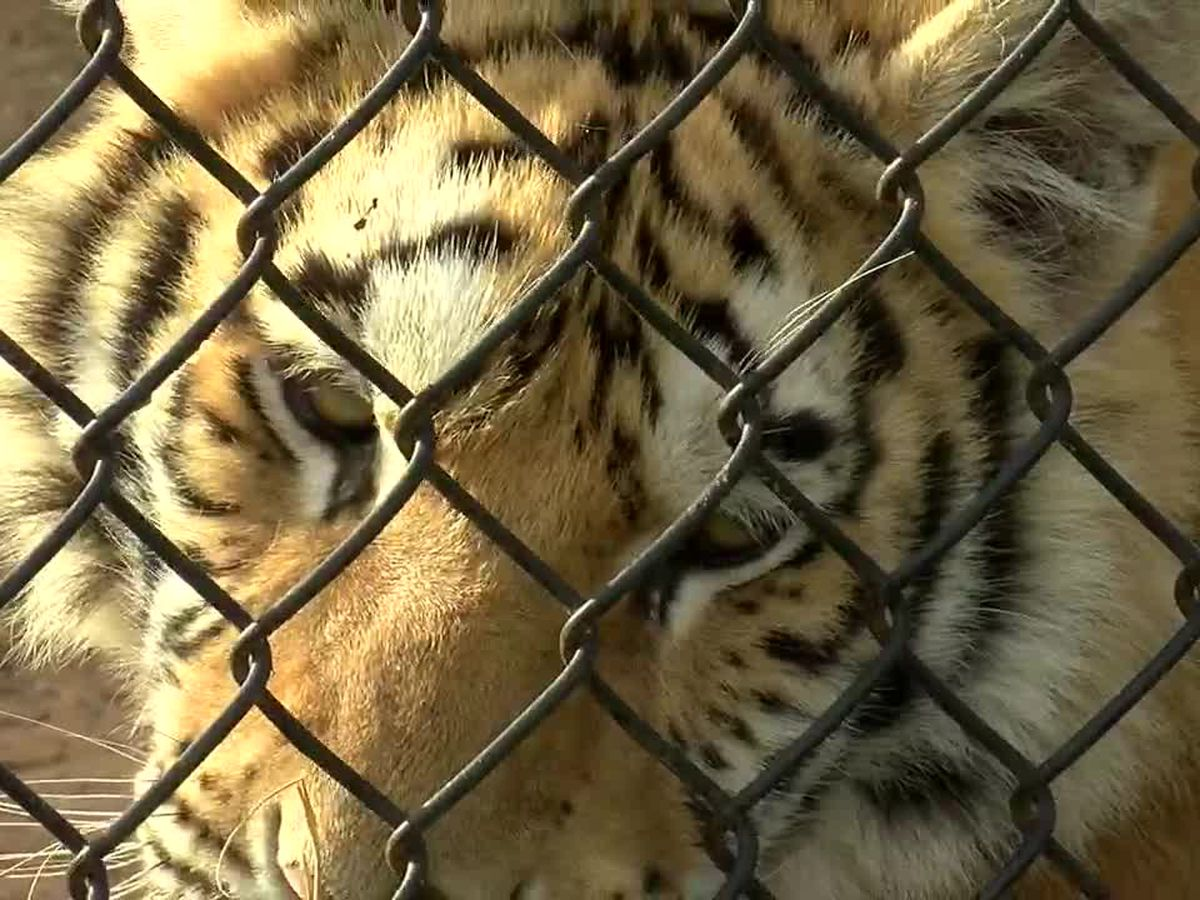 WebXtra: Tiger Creek Animal Sanctuary hosts Santa Paws