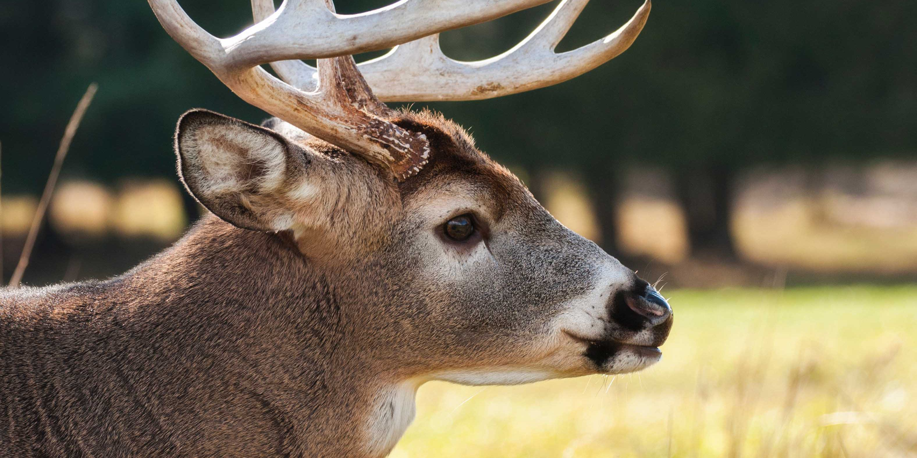 'Zombie deer disease' has impacted wildlife in 24 states