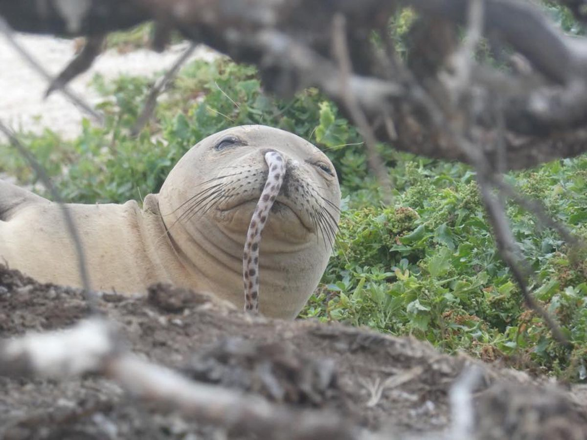 An eel was somehow stuck in the nose of a monk seal. It is rare, but it happens. - KLTV