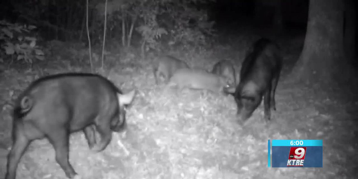 East Texas Ag News: Tips on managing wild hogs