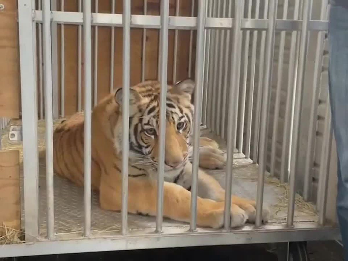 Director discusses tiger's journey to new home at East Texas ranch