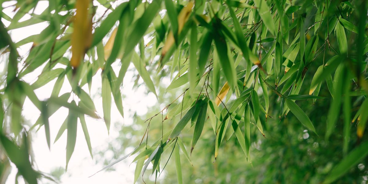 East Texas Ag News: Bamboo plants take over landscapes