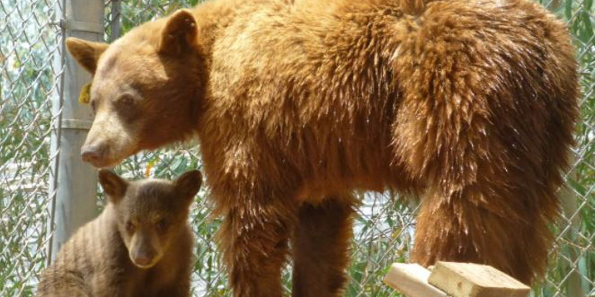 California bear and her cub now call East Texas home