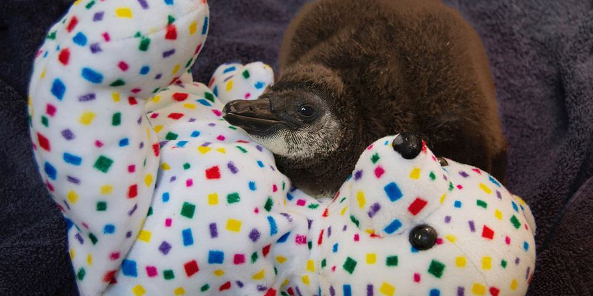 Caldwell Zoo announces name of adorable African Penguin chick