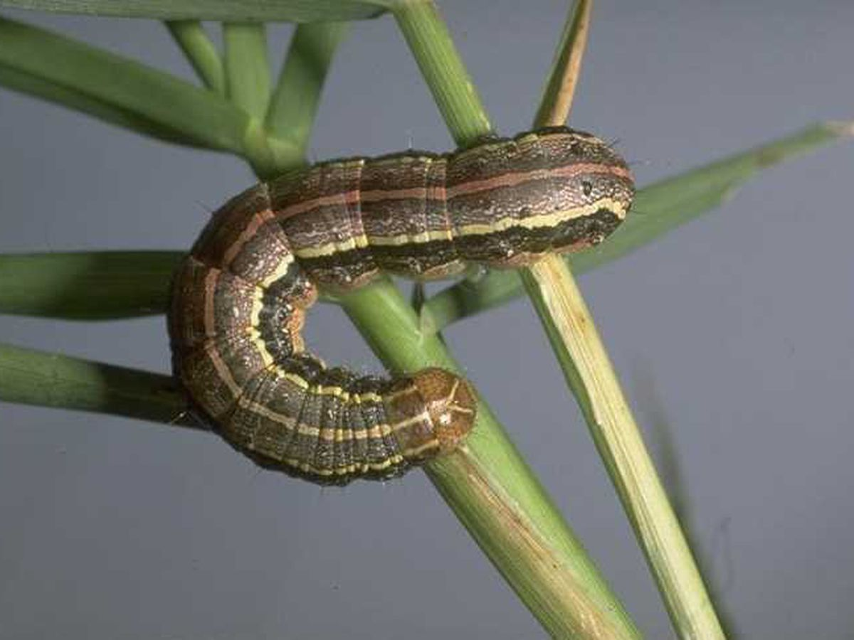 East Texas Ag News: Spotting Armyworm caterpillars