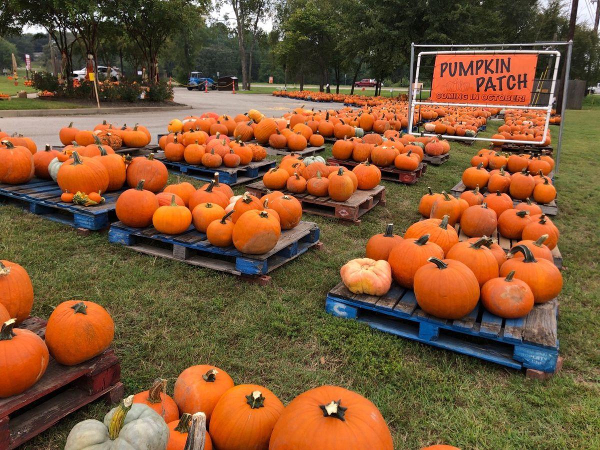 Pumpkin patch opens at Lanes Chapel United Methodist Church